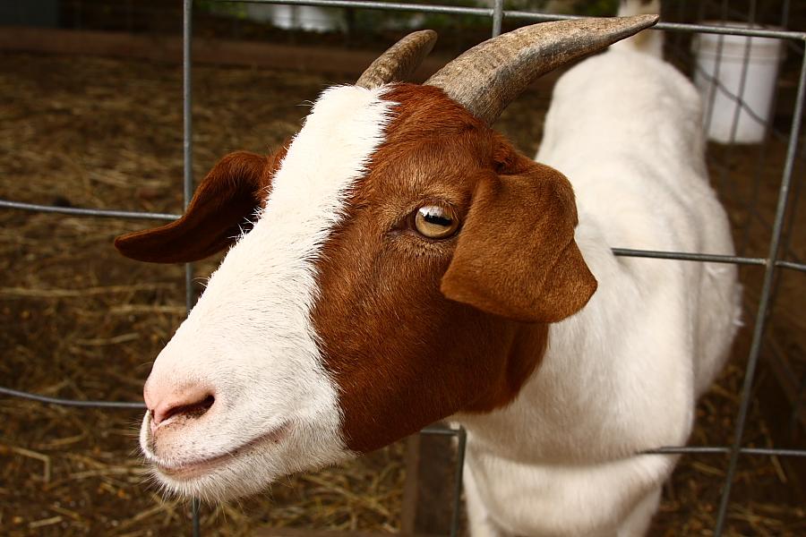 goat at Fender's Farm got your goat