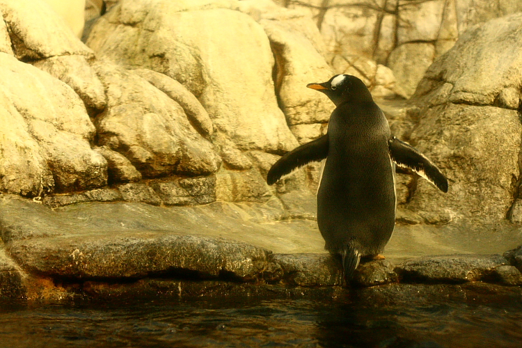 gentoo penguin at the Indianapolis Zoo