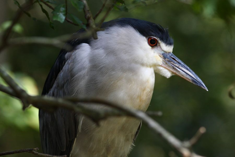 Brookgreen Gardens Night Heron Night Heron at Brookgreen Gardens aviary
